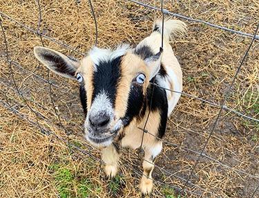 sisson goat